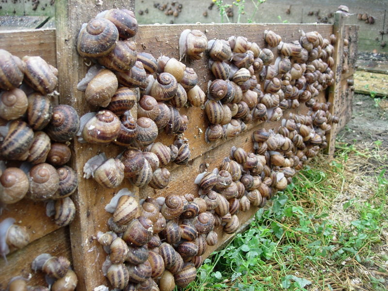 Élevage des escargots
